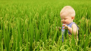 Little child exploring the green rice field